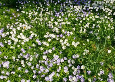 dwarf-japanese-anemones